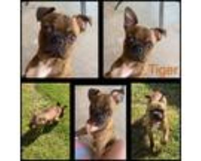 Adopt Tiger a Brindle - with White Boston Terrier / Pug / Mixed dog in
