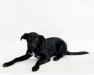 Adopt MACEY a Black - with White Labrador Retriever / Mixed dog in St.