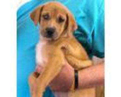 Adopt Kendra a Tan/Yellow/Fawn Hound (Unknown Type) / Shepherd (Unknown Type) /