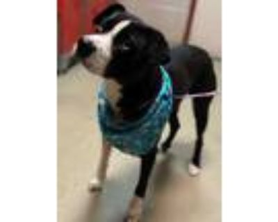 Adopt Poe a Black American Pit Bull Terrier / Husky / Mixed dog in Spartanburg