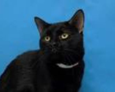 Adopt Mister Handsome a All Black Domestic Shorthair / Mixed cat in Woodbury