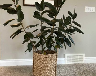 6 stem Rubber tree with Basket