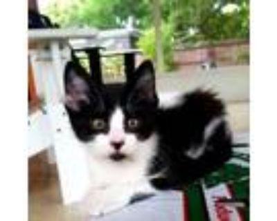 Lulu, Domestic Shorthair For Adoption In Orlando, Florida
