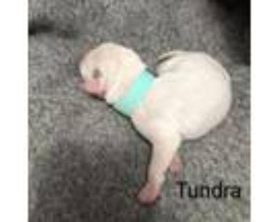 Adopt Tundra Tibby May a Catahoula Leopard Dog