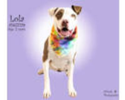 Adopt Dog a White - with Tan, Yellow or Fawn American Pit Bull Terrier / Mixed