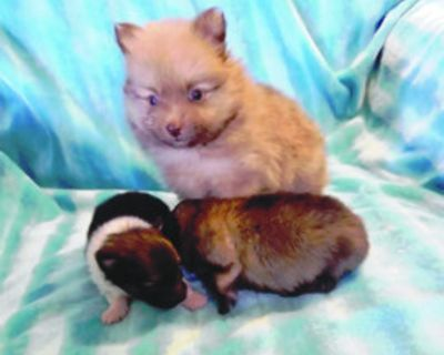 Pomeranian, AKC, different colors/ ages, males $1800, females $2000 and up. 505-486-1663...
