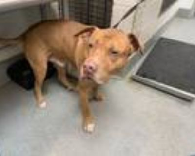 Adopt SPRIKE a Pit Bull Terrier, Mixed Breed