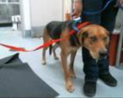 Adopt BILLY a Brown/Chocolate Bloodhound / Labrador Retriever / Mixed dog in
