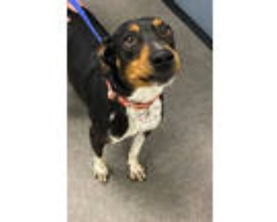 Adopt River a Doberman Pinscher, Mixed Breed