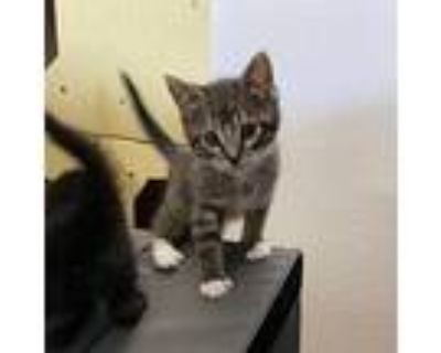Gasket, Domestic Shorthair For Adoption In Los Angeles, California