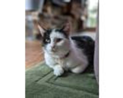 Adopt Eos a Domestic Shorthair cat in Denver, CO (31518869)