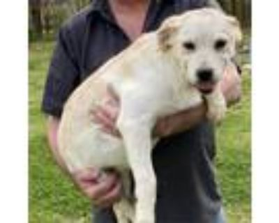 Adopt Archie a Yellow Labrador Retriever, Mixed Breed