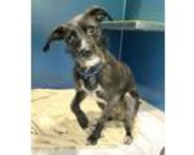 Adopt Heaven a Black Terrier (Unknown Type, Small) / Mixed dog in Palm Springs