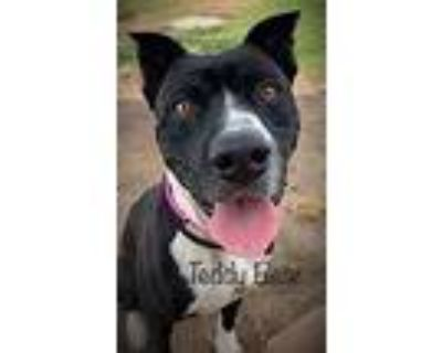 Teddy Bear, Staffordshire Bull Terrier For Adoption In Rowland Heights