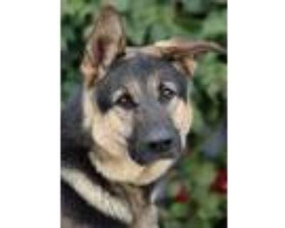 Adopt Roman von Ralingen a Black - with Tan, Yellow or Fawn German Shepherd Dog