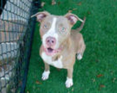 Adopt PATSY a Tan/Yellow/Fawn - with White Labrador Retriever / Mixed dog in