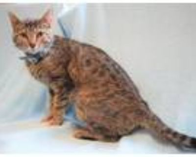 Adopt Channy a Domestic Short Hair