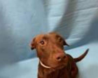 Adopt Rosie a Labrador Retriever, Mixed Breed