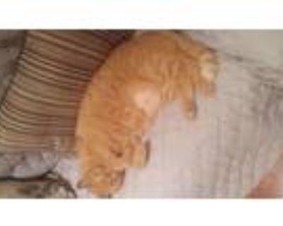 Adopt Tobi a Orange or Red Tabby American Shorthair (medium coat) cat in Severn