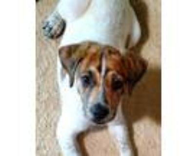 Adopt Gatsby a Labrador Retriever, Hound