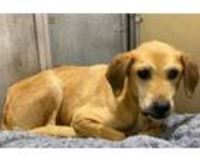 Adopt SHYLA a Beagle, Labrador Retriever