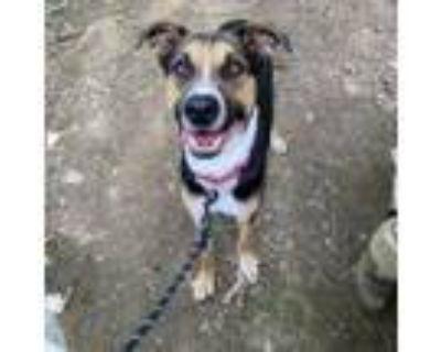 Adopt Sarge a Foxhound, German Shepherd Dog