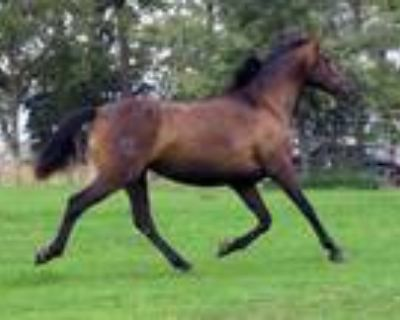 Bay Andalusian Mare with Rare Pure Cardenas Bloodlines