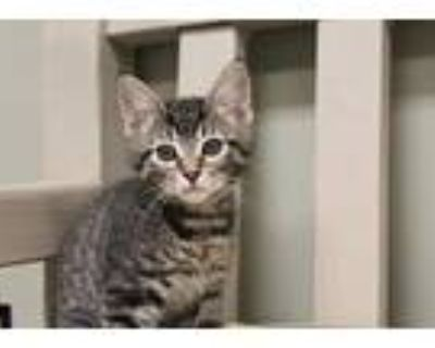 Nugget, Domestic Shorthair For Adoption In Chestertown, Maryland