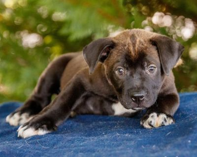 Gavin 11103 - Mixed Breed (Large) - Puppy Male