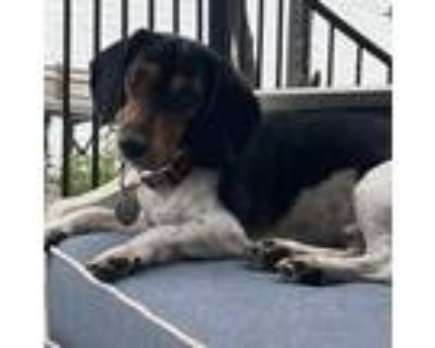 Adopt REX a Tricolor (Tan/Brown & Black & White) Beagle / Mixed dog in