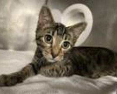 Adopt SAWYER BROWN a Domestic Short Hair, Manx