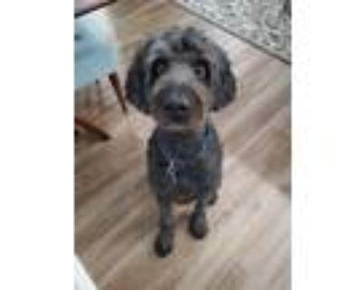 Adopt Jax a Black Labradoodle / Mixed dog in Marietta, GA (31949835)