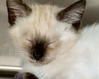 Mary Ann - Domestic Shorthair/Siamese - Kitten Female