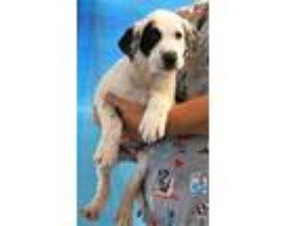 Adopt 159657 a White Labrador Retriever / Border Collie / Mixed dog in