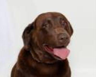 Adopt Chelsea a Labrador Retriever / Mixed dog in San Luis Obispo, CA (32070028)