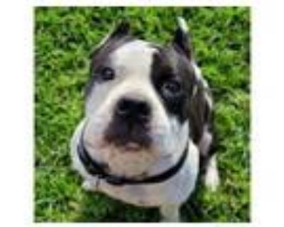 Adopt BRUCE a Pit Bull Terrier, Mixed Breed