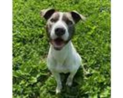 Adopt Gazpacho a Pit Bull Terrier, Mixed Breed