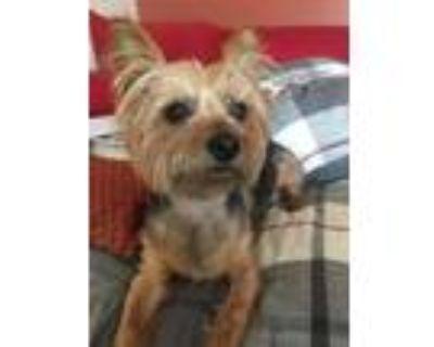 Adopt Esmerelda a Yorkshire Terrier