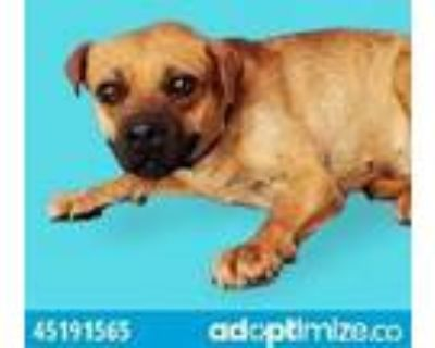 Adopt Summer a Brown/Chocolate Border Terrier / Mixed dog in El Paso