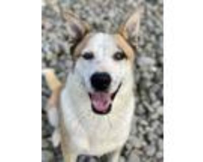 Adopt Irving a Collie, Mixed Breed