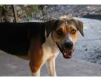 Adopt Bailey a White - with Brown or Chocolate Beagle / Labrador Retriever /