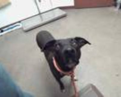 Adopt FELICITY a Black - with White American Pit Bull Terrier / Labrador