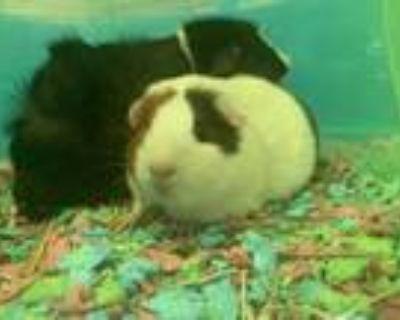Adopt Versace a Guinea Pig