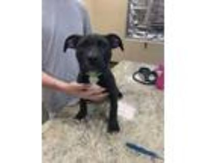 Adopt Ava a Black American Pit Bull Terrier / Mixed dog in Independence