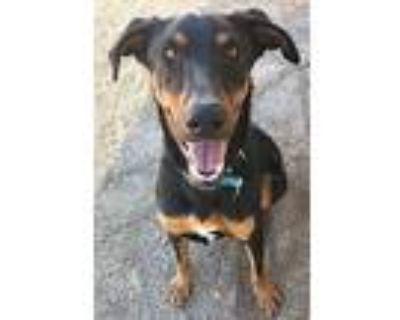 Spike, Doberman Pinscher For Adoption In Palmdale, California