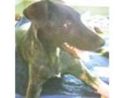 Adopt MARCEL a Brindle Labrador Retriever / Mixed dog in Albuquerque