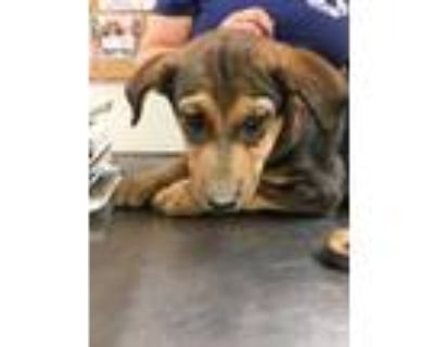 Adopt 47996736 a Brown/Chocolate Hound (Unknown Type) / Mixed dog in Los Lunas