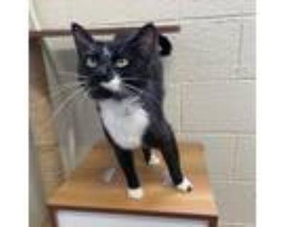 Adopt Feodora Houston Baker-Low a Domestic Short Hair