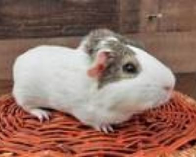 Adopt APPLE a Black Guinea Pig / Mixed small animal in Van Nuys, CA (31641071)