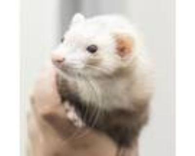 Adopt Della a Ferret